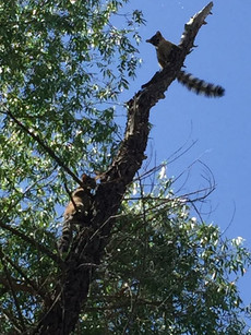 2 Ringtails in a tree
