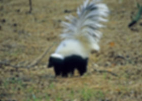 Hooded Skunk