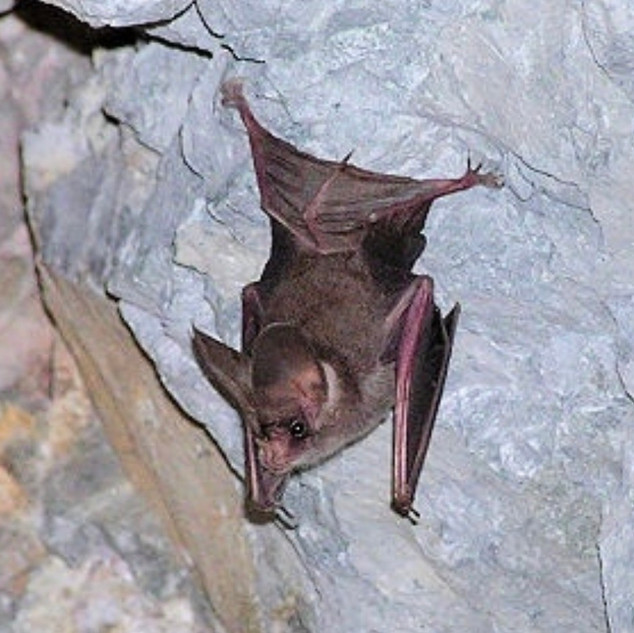 California Leaf-Nosed Bat