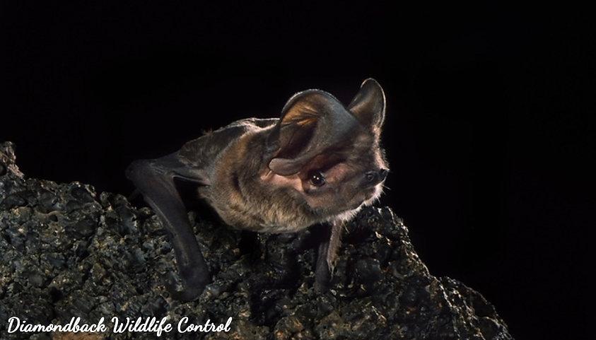 Greater Western Mastiff Bat