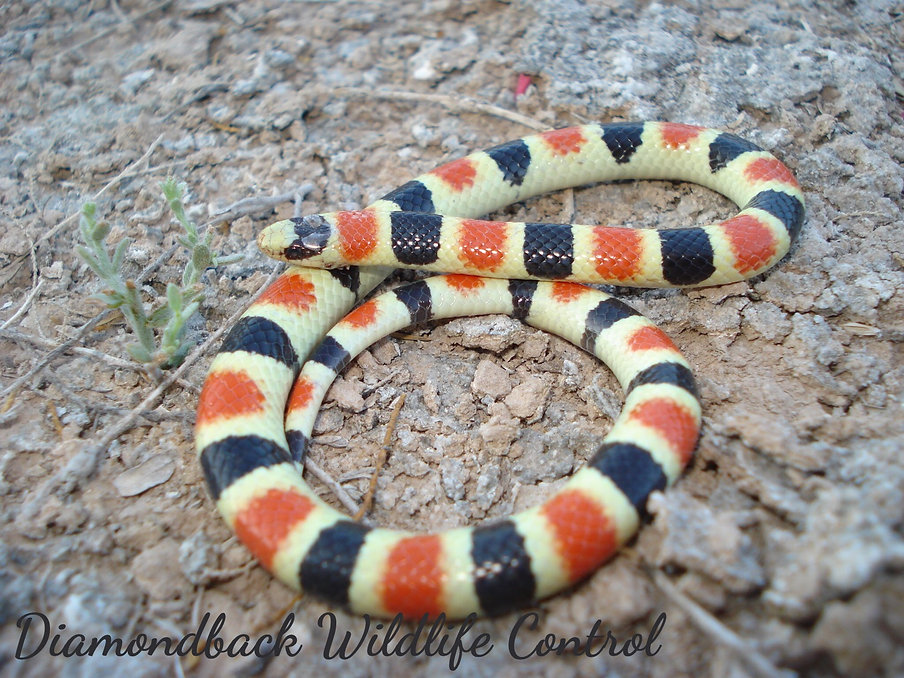 Sonoran Shovel-nosed Snake