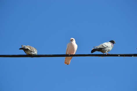 One white-colored pigeon in the flock of 20