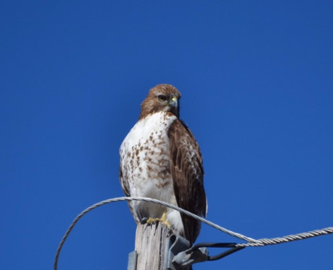 Red Tailed Hawk Perched