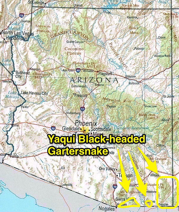 Yaqui Black-headed snake