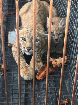 Bobcats being relocated