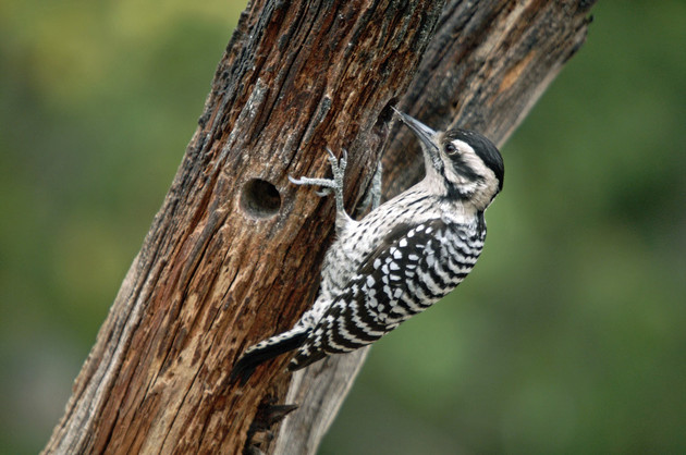Female Ladder-backed Woodpecker