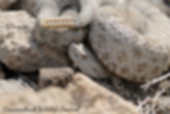 New Mexico Ridge-nosed Rattlesnake