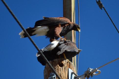 Harris Hawks mating