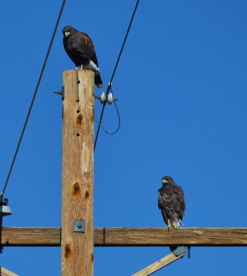 Adult and juvenile harris hawk