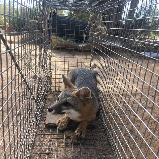 Fox Waiting to be released.