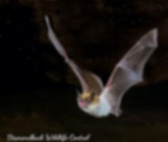 Cave Myotis