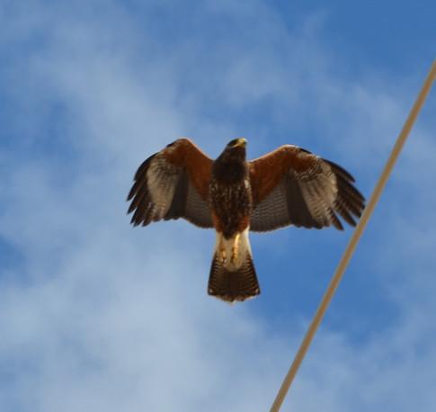 adult Harris hawk in flight