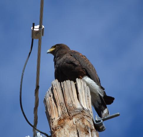 Adult Harris hawk