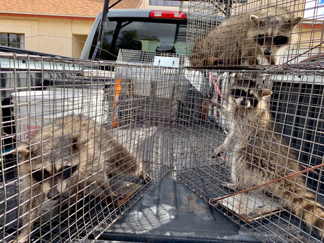 Raccoons being relocated