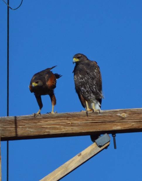 Pair of harris's hawks