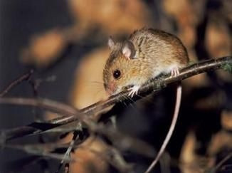 Long-tailed Pocket Mouse