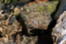 Checkered Gartersnake