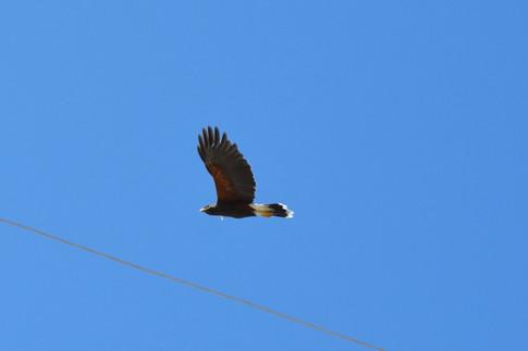Male Harris Hawk