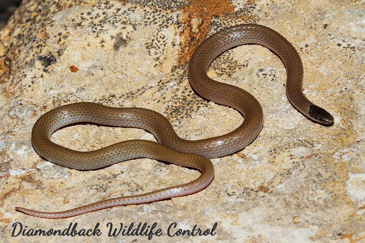Smith's Black-headed snake