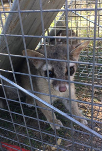 Ringtail awaits release