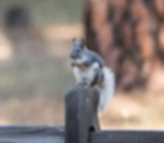 Alberts Squirrel