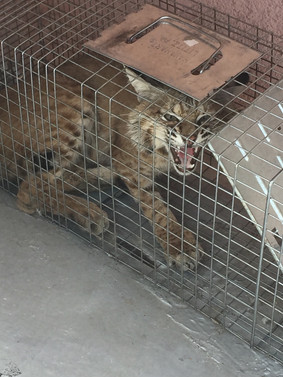 Bobcat in cage