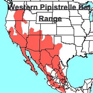 Western Pipistrelle Bat Range