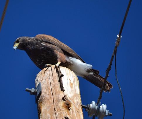 harris's hawk perched