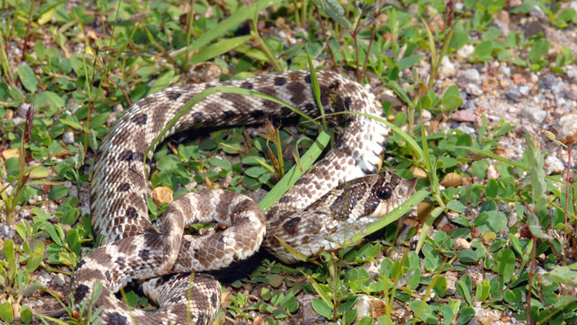 Mexican hog-nosed snake