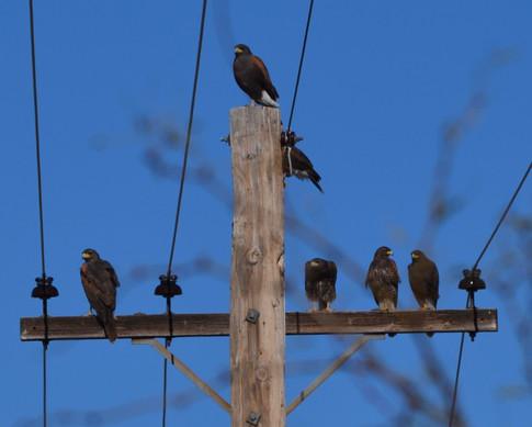 Group of Harris hawks