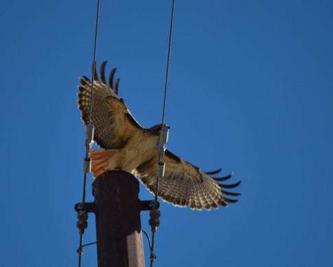 red tailed hawk taking flight
