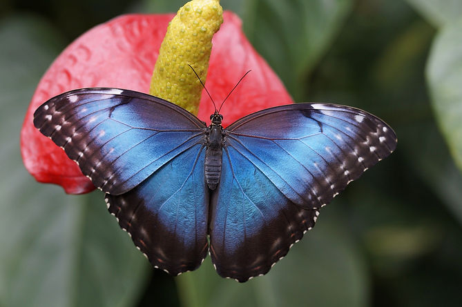 blue-morpho-784979_1920.jpg