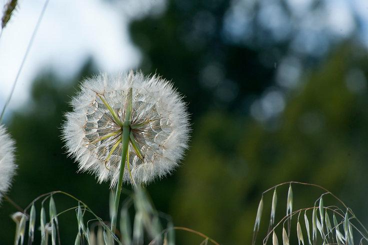 canva-selective-focus-photo-of-dandelion