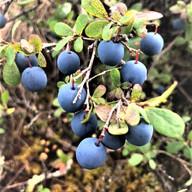 Huslia Blueberries Photo by Jo Drendoff