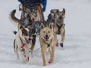 Sled dogs runnings together in the snow.
