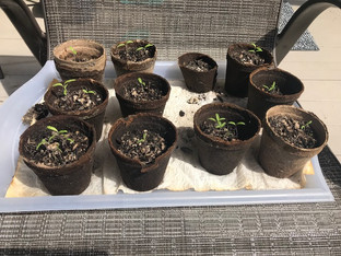 Tomatoes Planting