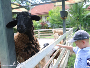 Year 2 reporting directly from the Samui Sheep Farm