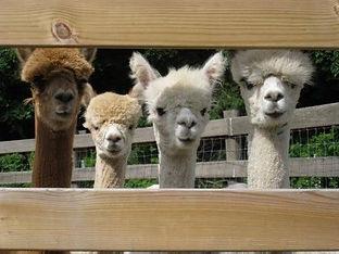 alpacas at fence.jpg