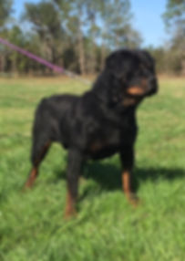 100% European Champion bloodline Doberman, Rottwiler, Long haired German Shaphard puppies for sale, Stud service, Superior Size & quality,