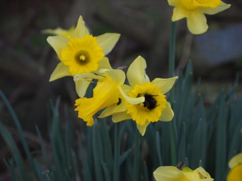 Bumble bee and daffodil