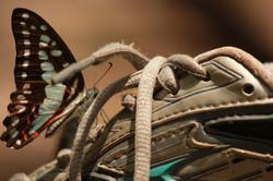 Butterflies, Northern Territory