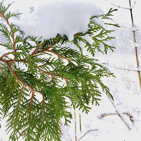 Snow on cedar. #igvermont #vermont #verm