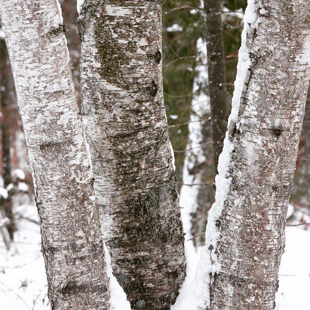 Birches in winter. #foxglovefarmvt #wint