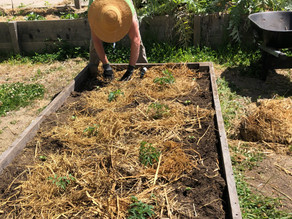 Planting a Tomato Start with Farmer Jesse
