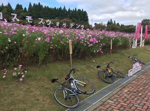 夢の平へ秋桜を見に行きましょう!