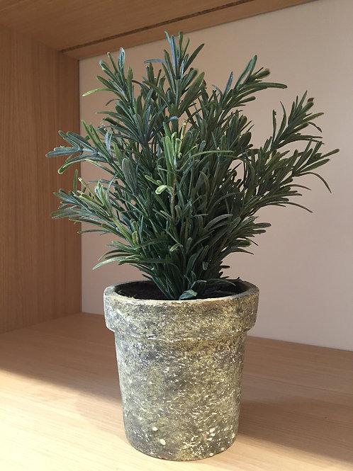 Pots of false Rosemary