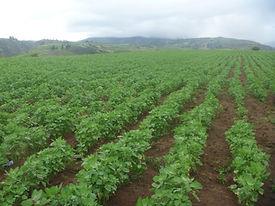 Desarrollo vegetativo de la quinua