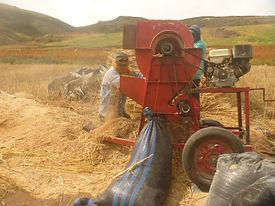 Cosecha de la Quinoa (trilla)
