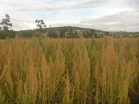 Madures de cosecha de la quinua