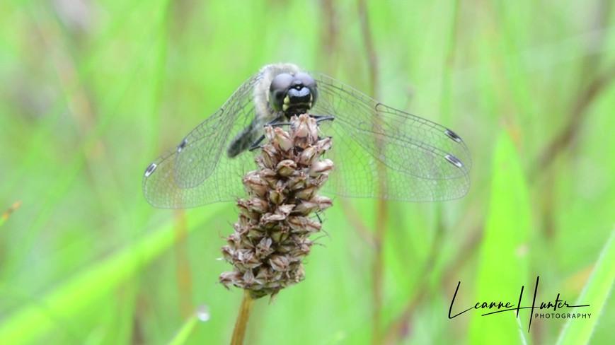 Dragonfly Film
